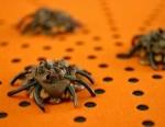 pecan-caramel spiders  picture